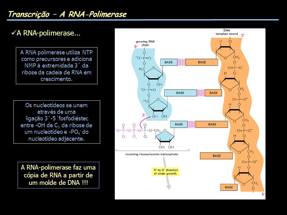 A RNA polimerase utiliza NTP como precursores e adiciona NMP à extremidade 3´ da ribose da cadeia de RNA em crescimento. Transcrição – A RNA-Polimeras