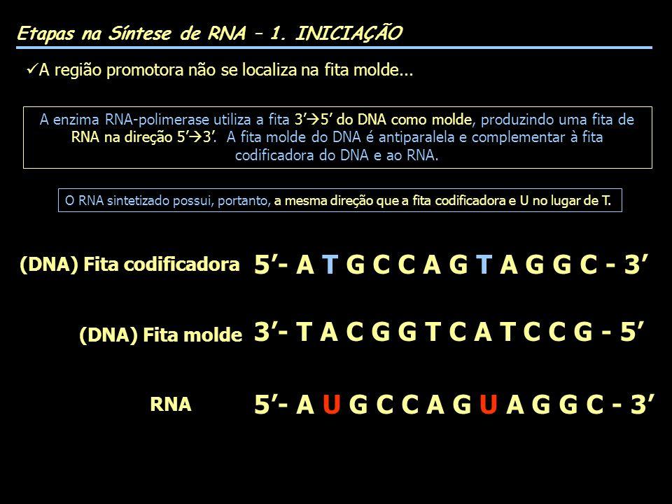 5- A T G C C A G T A G G C - 3 3- T A C G G T C A T C C G - 5 5- A U G C C A G U A G G C - 3 (DNA) Fita codificadora (DNA) Fita molde RNA A enzima RNA-polimerase utiliza a fita 3 5 do DNA como molde, produzindo uma fita de RNA na direção 5 3.