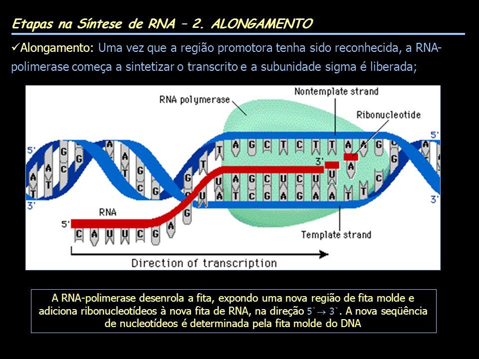 Etapas na Síntese de RNA – 2. ALONGAMENTO Alongamento: Uma vez que a região promotora tenha sido reconhecida, a RNA- polimerase começa a sintetizar o