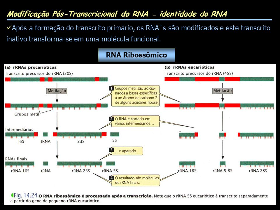 Modificação Pós-Transcricional do RNA = identidade do RNA Após a formação do transcrito primário, os RNA´s são modificados e este transcrito inativo transforma-se em uma molécula funcional.