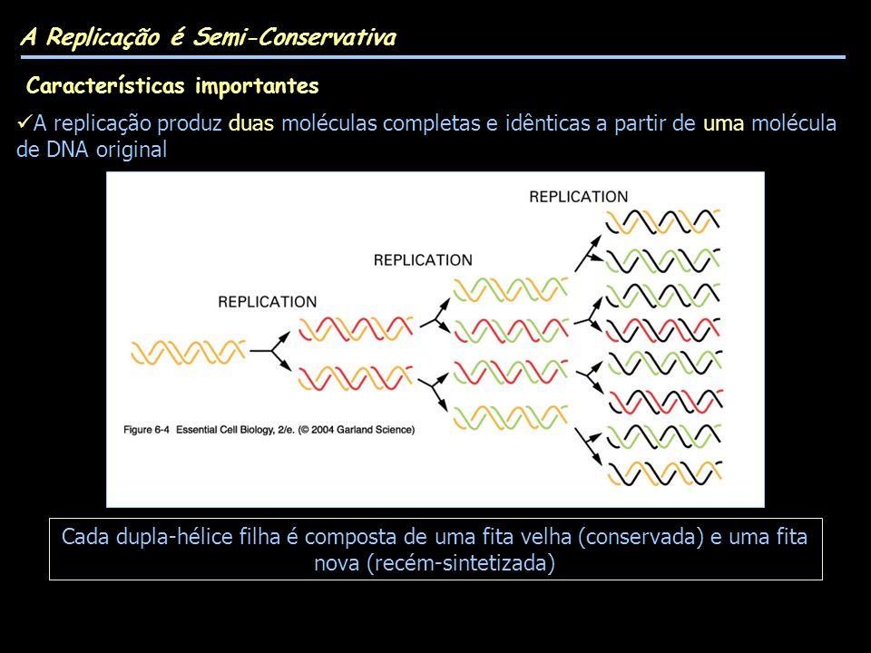 A Replicação é Semi-Conservativa Cada dupla-hélice filha é composta de uma fita velha (conservada) e uma fita nova (recém-sintetizada) A replicação produz duas moléculas completas e idênticas a partir de uma molécula de DNA original Características importantes