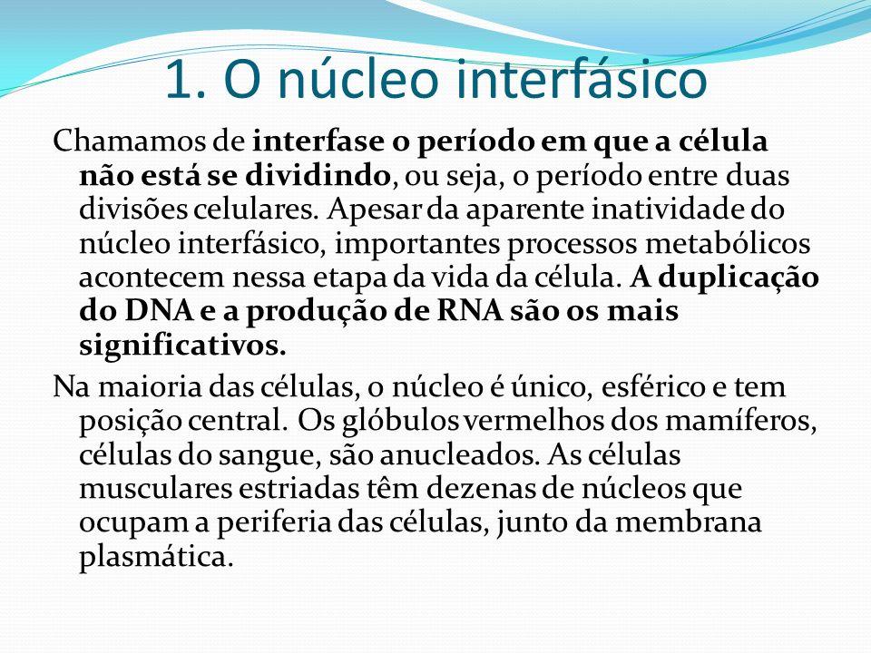 1. O núcleo interfásico Chamamos de interfase o período em que a célula não está se dividindo, ou seja, o período entre duas divisões celulares. Apesa