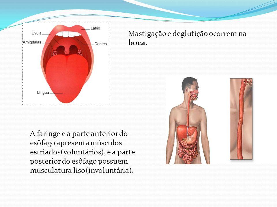 Mastigação e deglutição ocorrem na boca. A faringe e a parte anterior do esôfago apresenta músculos estriados(voluntários), e a parte posterior do esô