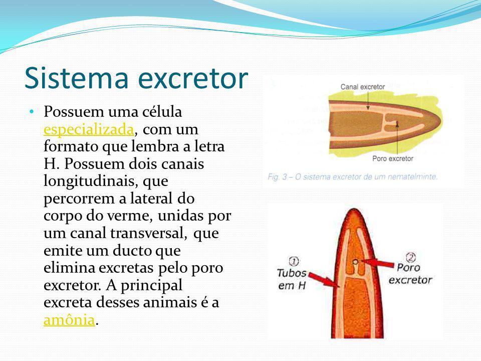 Sistema excretor Possuem uma célula especializada, com um formato que lembra a letra H.