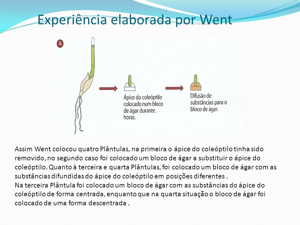 Experiência elaborada por Went Assim Went colocou quatro Plântulas, na primeira o ápice do coleóptilo tinha sido removido, no segundo caso foi colocad
