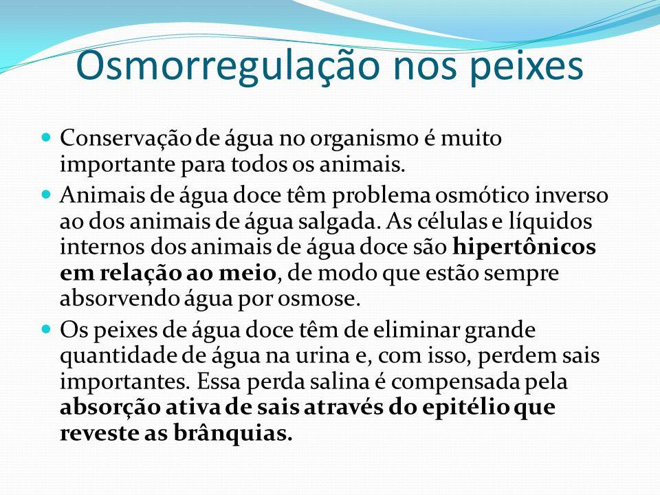 Osmorregulação nos peixes Conservação de água no organismo é muito importante para todos os animais. Animais de água doce têm problema osmótico invers