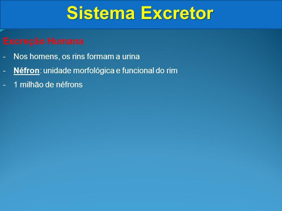 Sistema Excretor Excreção Humana -Nos homens, os rins formam a urina -Néfron: unidade morfológica e funcional do rim -1 milhão de néfrons
