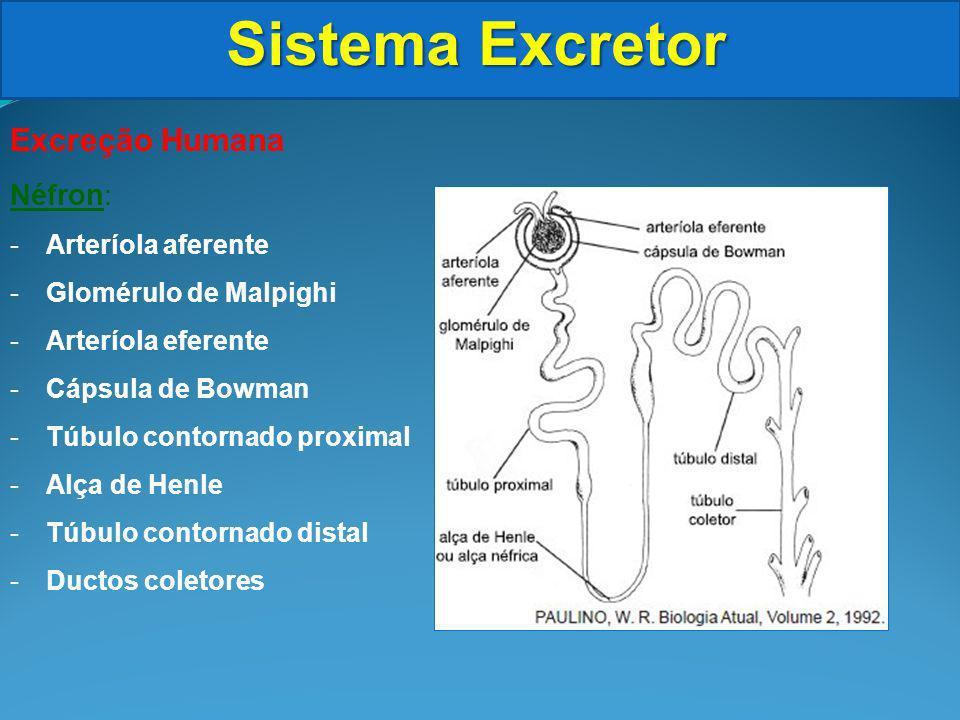 Sistema Excretor Excreção Humana Néfron: -Arteríola aferente -Glomérulo de Malpighi -Arteríola eferente -Cápsula de Bowman -Túbulo contornado proximal -Alça de Henle -Túbulo contornado distal -Ductos coletores
