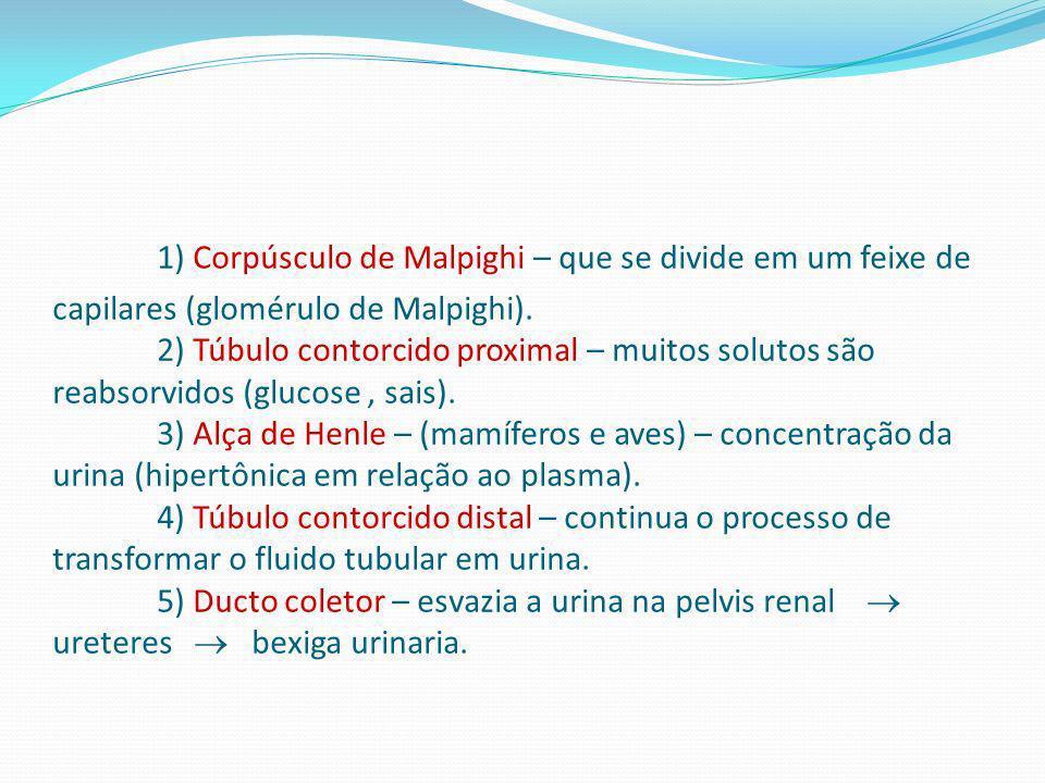 1) Corpúsculo de Malpighi – que se divide em um feixe de capilares (glomérulo de Malpighi).