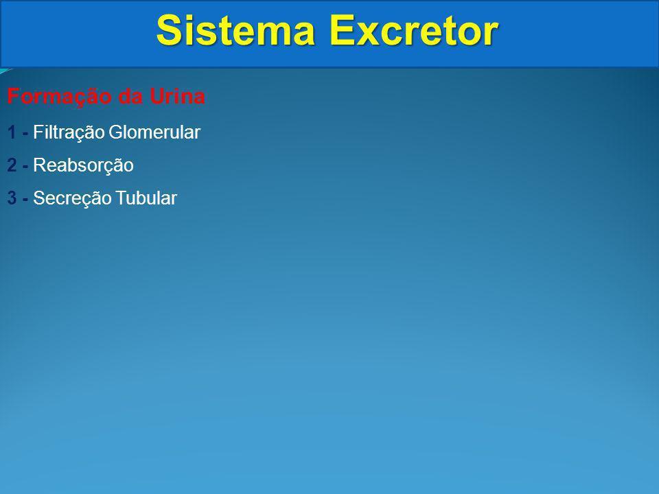 Sistema Excretor Formação da Urina 1 - Filtração Glomerular 2 - Reabsorção 3 - Secreção Tubular