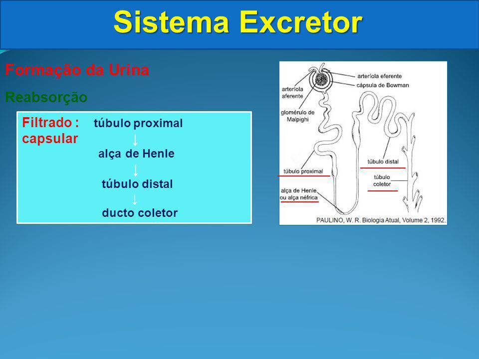 Sistema Excretor Formação da Urina Reabsorção Filtrado : túbulo proximal capsular alça de Henle túbulo distal ducto coletor