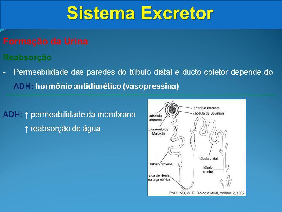 Sistema Excretor Formação da Urina Reabsorção -Permeabilidade das paredes do túbulo distal e ducto coletor depende do ADH: hormônio antidiurético (vasopressina) ADH: permeabilidade da membrana reabsorção de água