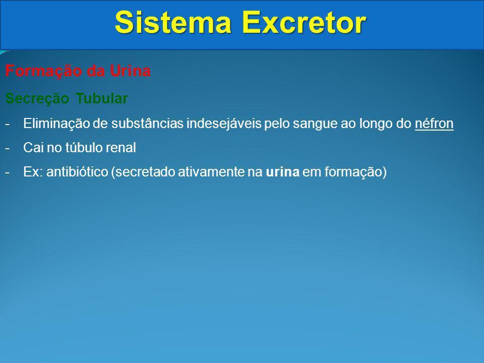 Sistema Excretor Formação da Urina Secreção Tubular -Eliminação de substâncias indesejáveis pelo sangue ao longo do néfron -Cai no túbulo renal -Ex: antibiótico (secretado ativamente na urina em formação)