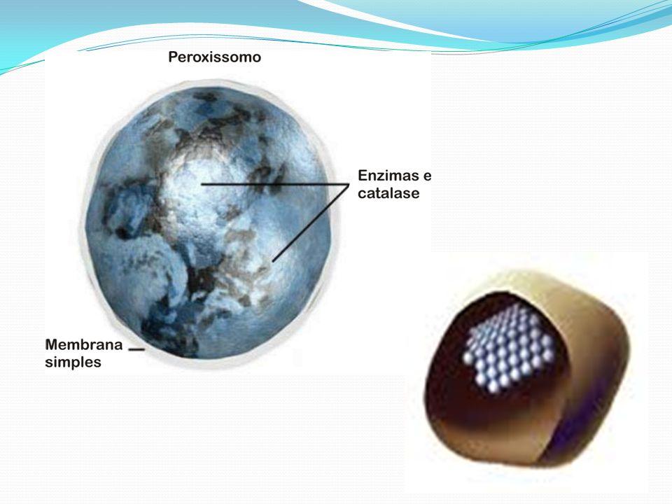 A catalase converte o peróxido de hidrogênio, popularmente conhecido como água oxigenada (H 2 O 2 ), e água e gás oxigênio.