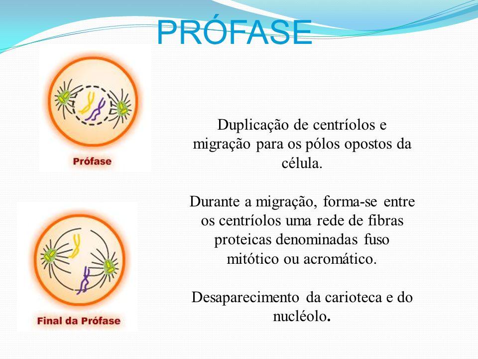 FASES DA MITOSE Prófase Metáfase Anáfase Telófase (PROMETA A ANA TELEFONAR)