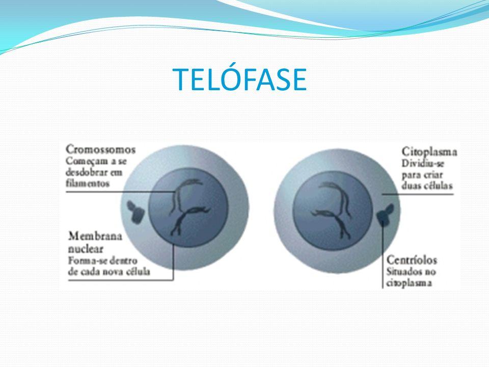 TELÓFASE Cromossomos chegam aos pólos desespiralizando-se. -Os centríolos estão individualizados e desaparece o fuso mitótico. -parecem a carioteca e