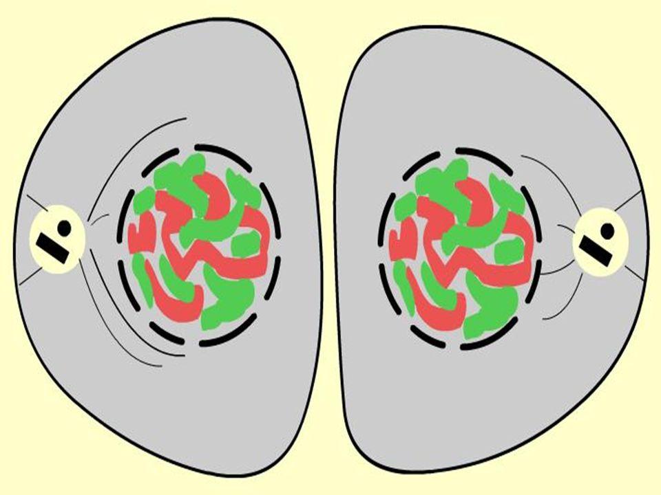 - Citocinese é a divisão do citoplasma no final da mitose; é centrípeta.