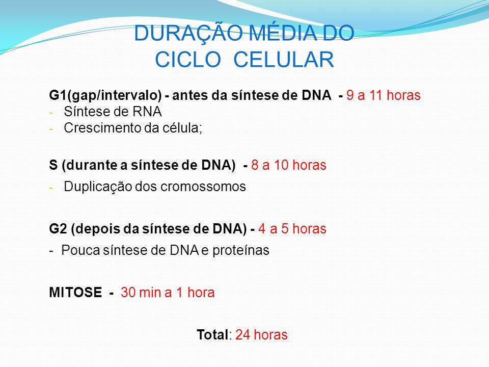 DURAÇÃO MÉDIA DO CICLO CELULAR G1(gap/intervalo) - antes da síntese de DNA - 9 a 11 horas - Síntese de RNA - Crescimento da célula; S (durante a síntese de DNA) - 8 a 10 horas - Duplicação dos cromossomos G2 (depois da síntese de DNA) - 4 a 5 horas - Pouca síntese de DNA e proteínas MITOSE - 30 min a 1 hora Total: 24 horas