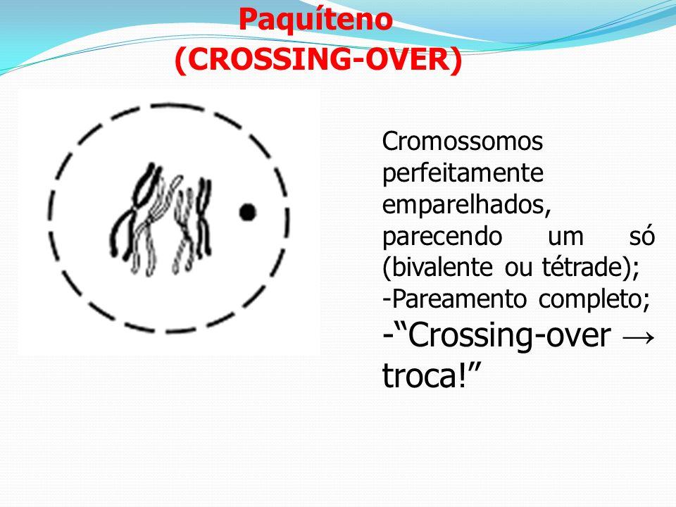 Zigóteno Cromossomos homólogos duplicados lado a lado emparelhados em todo seu comprimento (emparelhamento cromossômico) = complexo sinaptonêmico.