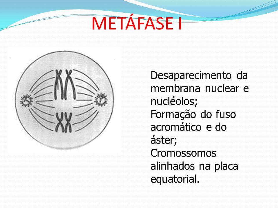DiacineseTERMINALIZAÇÃO Aumenta a Condensação cromossômica; Cromossomos presos pelos quiasmas se afastam para as extremidades = terminalização dos qui