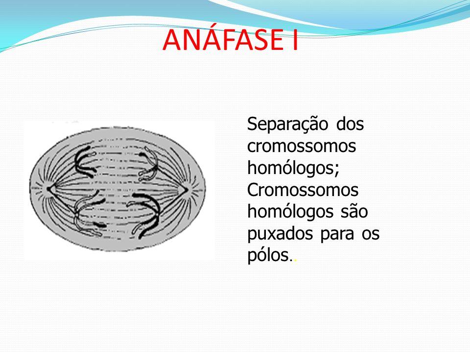 METÁFASE I Desaparecimento da membrana nuclear e nucléolos; Formação do fuso acromático e do áster; Cromossomos alinhados na placa equatorial.