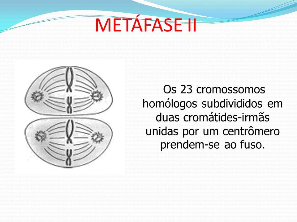 PRÓFASE II A partir da telófase I, depois da formação do fuso; desaparecimento da carioteca, as células entram em metáfase II.