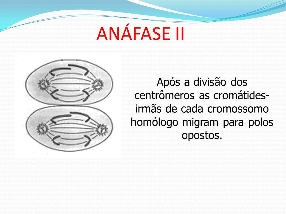 METÁFASE II Os 23 cromossomos homólogos subdivididos em duas cromátides-irmãs unidas por um centrômero prendem-se ao fuso.