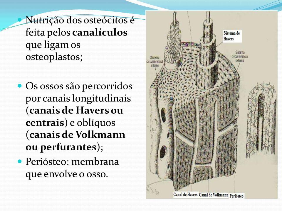 Nutrição dos osteócitos é feita pelos canalículos que ligam os osteoplastos; Os ossos são percorridos por canais longitudinais (canais de Havers ou ce