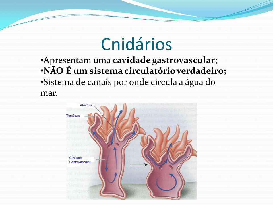 Equinodermos Há um sistema de vasos e lacunas; Não há circulação de sangue em tal sistema; Exemplo: sistema ambulacrário.