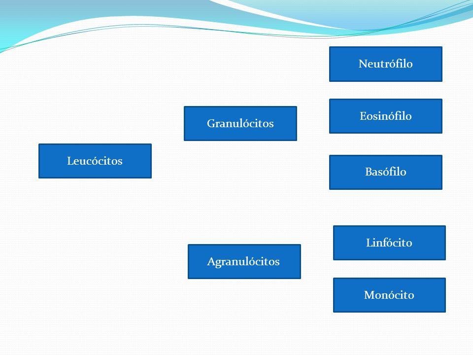 Neutrófilo Ação: –Infecções com bactérias e fungos; –Pequenos processos inflamatórios; Formadores do pus; Núcleo multilobado ; Granulação fina no citoplasma; Muito ativos na fagocitose de bactérias; Células mais comuns nos estágios iniciais da inflamação aguda;