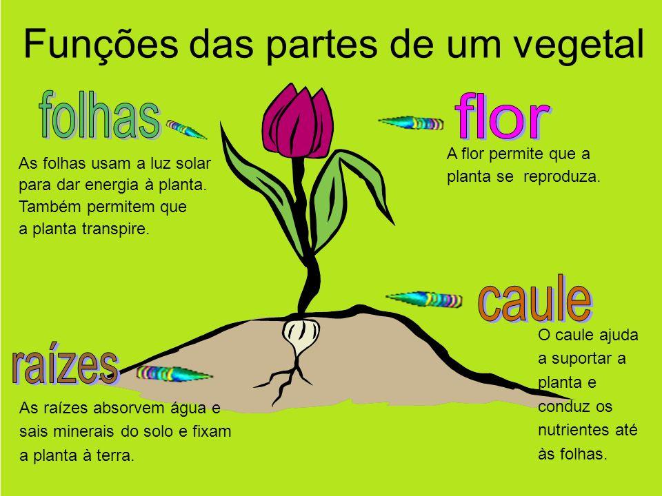 As raízes absorvem água e sais minerais do solo e fixam a planta à terra.