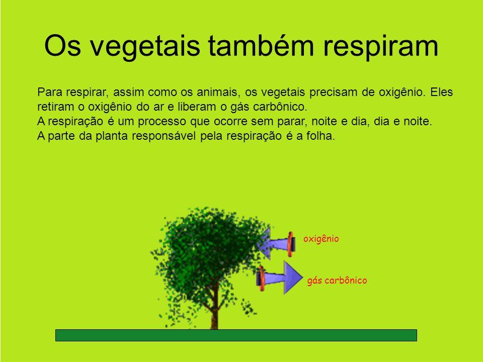 Os vegetais também respiram Para respirar, assim como os animais, os vegetais precisam de oxigênio.