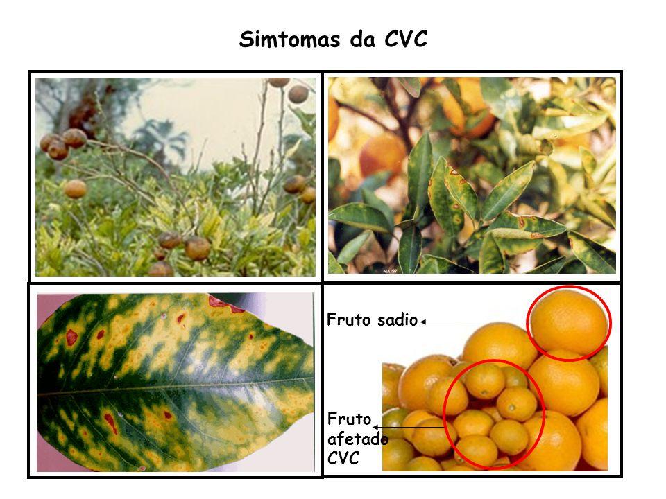 Interação Endófitos x Xylella fastidiosa Araújo et al.