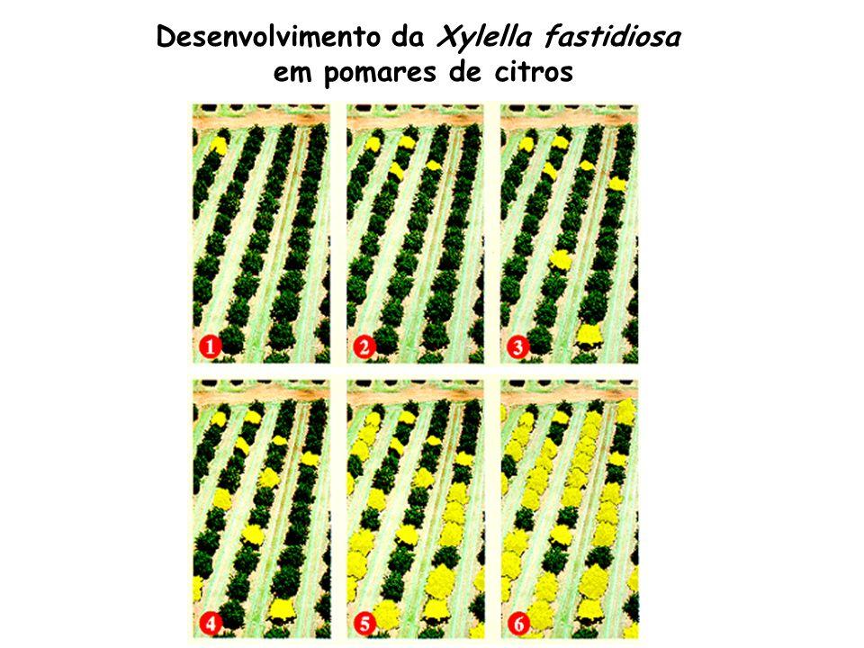 Desenvolvimento da Xylella fastidiosa em pomares de citros