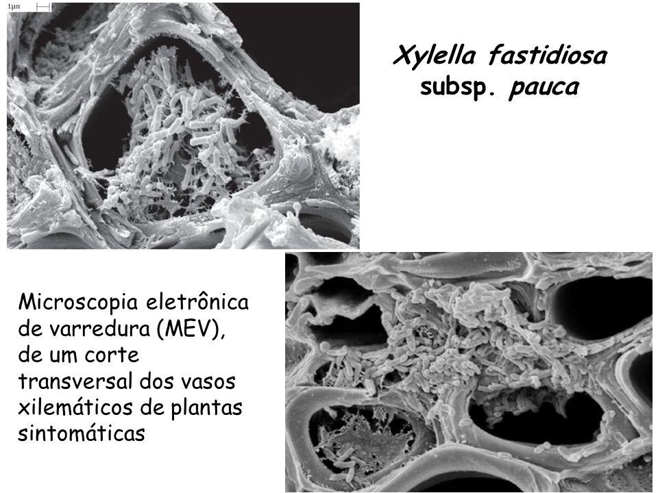 Interação Endófitos x Xylella fastidiosa Lacava et al.