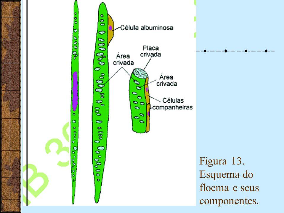 Figura 13. Esquema do floema e seus componentes.