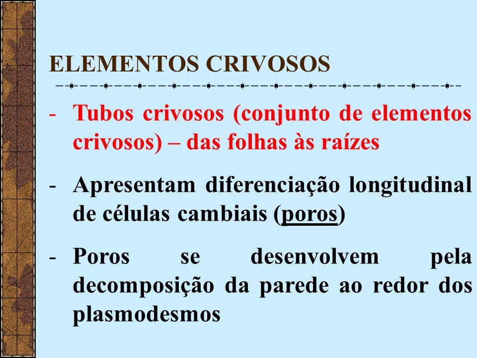 ELEMENTOS CRIVOSOS -Tubos crivosos (conjunto de elementos crivosos) – das folhas às raízes -Apresentam diferenciação longitudinal de células cambiais