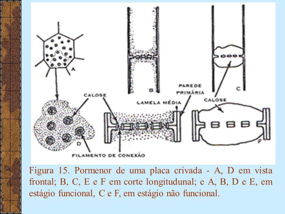 Figura 15. Pormenor de uma placa crivada - A, D em vista frontal; B, C, E e F em corte longitudunal; e A, B, D e E, em estágio funcional, C e F, em es