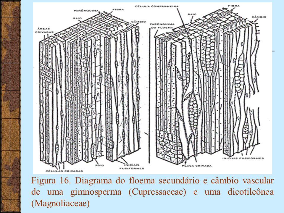Figura 16. Diagrama do floema secundário e câmbio vascular de uma gimnosperma (Cupressaceae) e uma dicotileônea (Magnoliaceae)