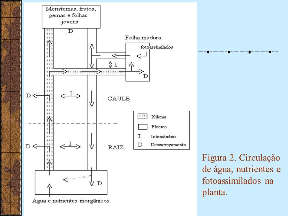 Figura 2. Circulação de água, nutrientes e fotoassimilados na planta.