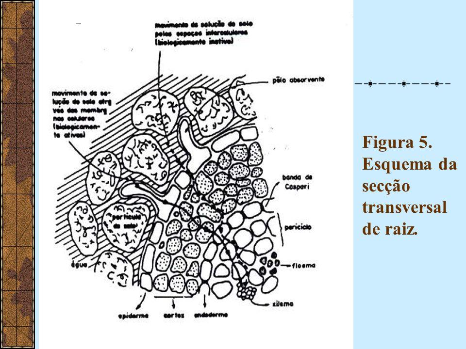 A)Anelamento da casca de troncos ou caules – movimento ascendente dos íons não é impedida B)Radioisótopos via radicular – velocidades de até 60m/h (transpiração) C)Relação direta absorção x transpiração D)Análise do líquido xilemático (alta [íons] – SEIVA BRUTA