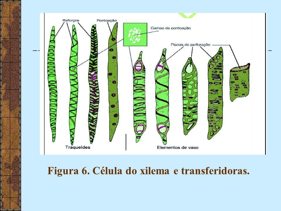 Figura 7. Esquema mostrando a evolução dos elementos de vaso (A-F).