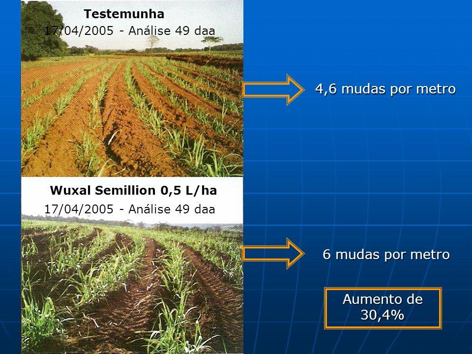 Testemunha 17/04/2005 - Análise 49 daa Wuxal Semillion 0,5 L/ha 6 mudas por metro 4,6 mudas por metro Aumento de 30,4%