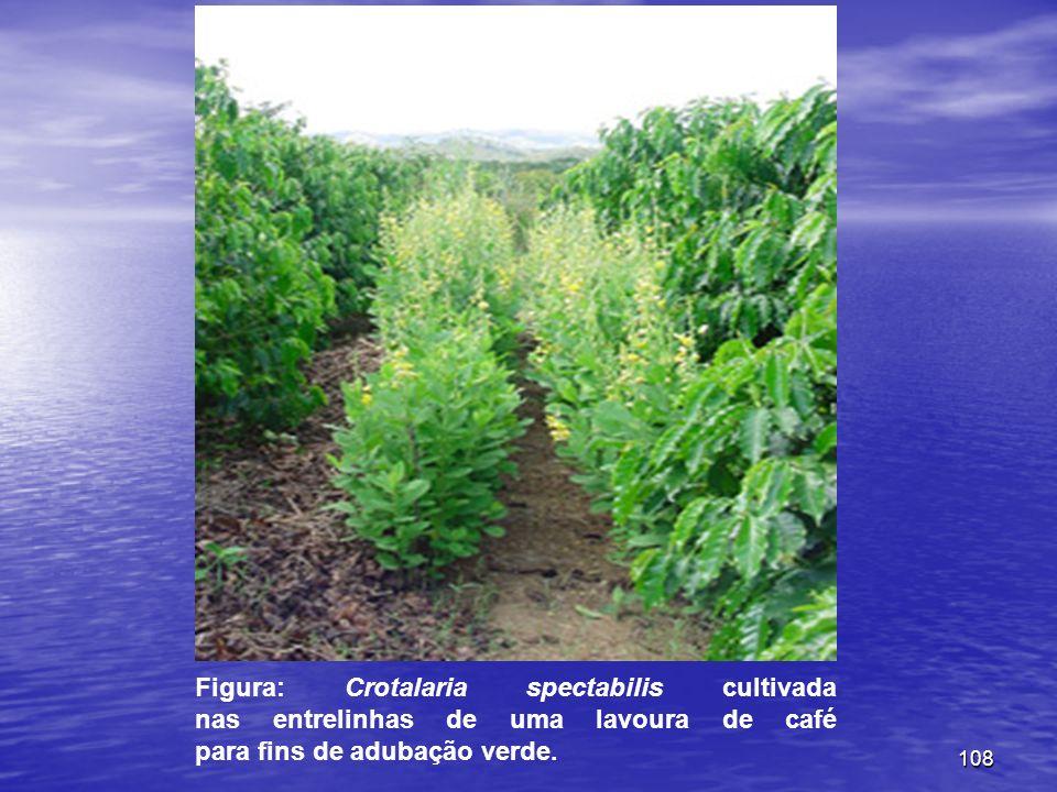 108 Figura: Crotalaria spectabilis cultivada nas entrelinhas de uma lavoura de café para fins de adubação verde.