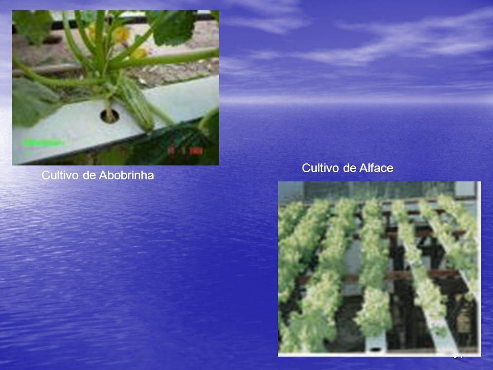 34 Cultivo de Abobrinha Cultivo de Alface