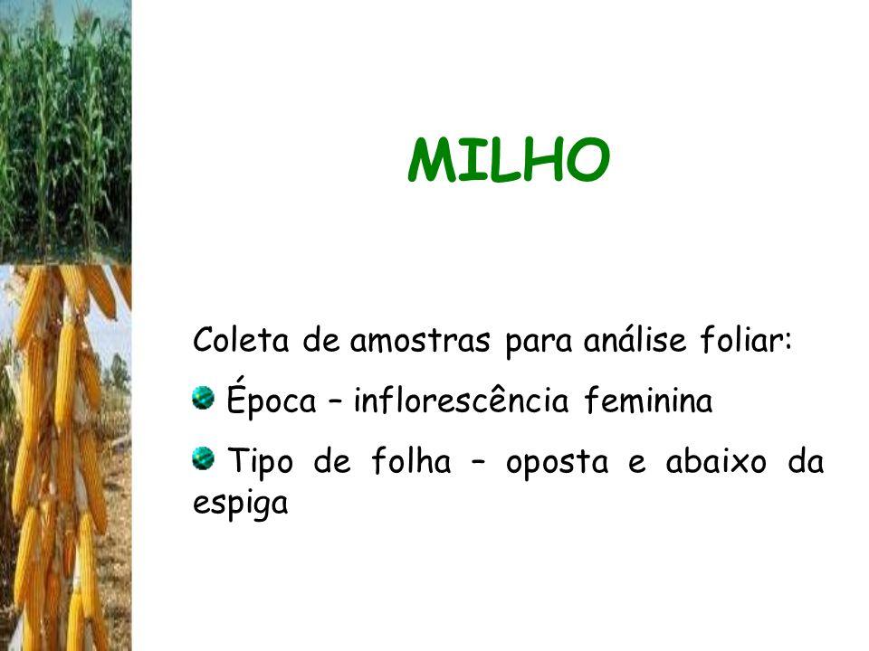 MILHO Coleta de amostras para análise foliar: Época – inflorescência feminina Tipo de folha – oposta e abaixo da espiga