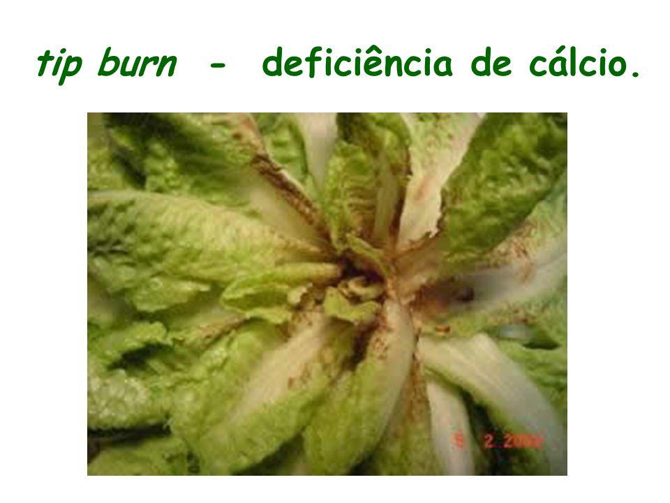 tip burn - deficiência de cálcio.