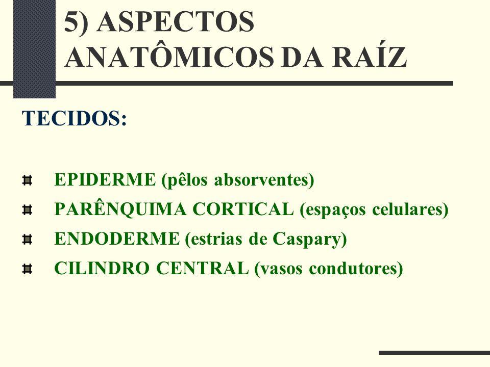 5) ASPECTOS ANATÔMICOS DA RAÍZ TECIDOS: EPIDERME (pêlos absorventes) PARÊNQUIMA CORTICAL (espaços celulares) ENDODERME (estrias de Caspary) CILINDRO C