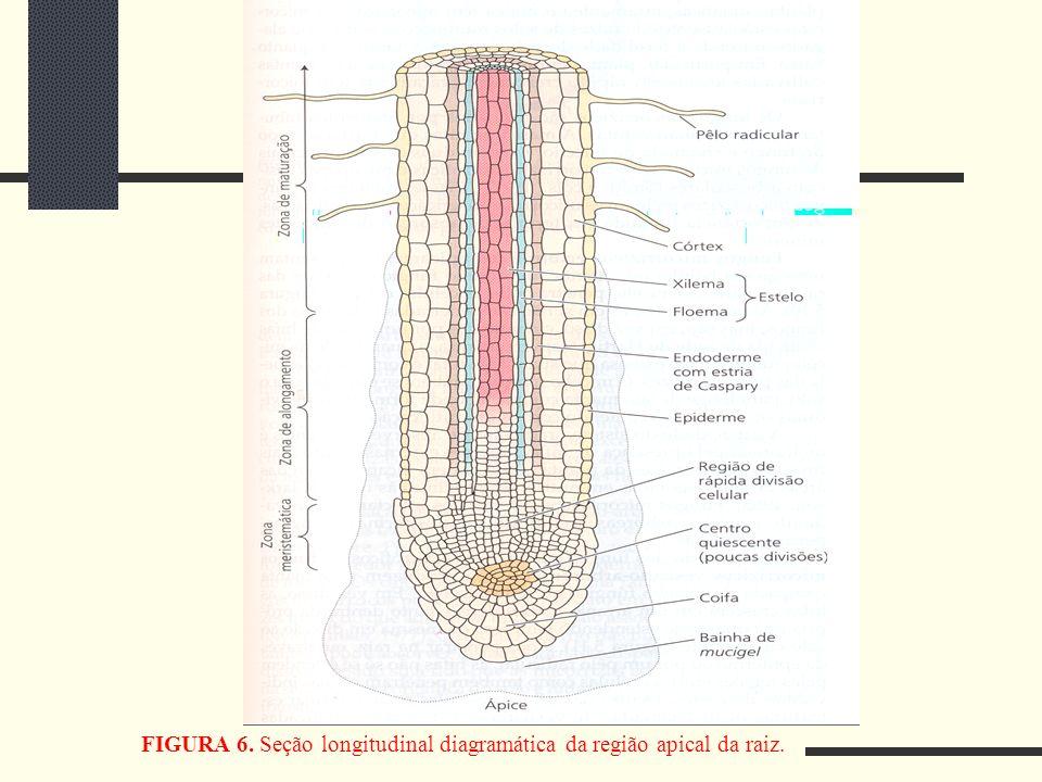 FIGURA 6. Seção longitudinal diagramática da região apical da raiz.
