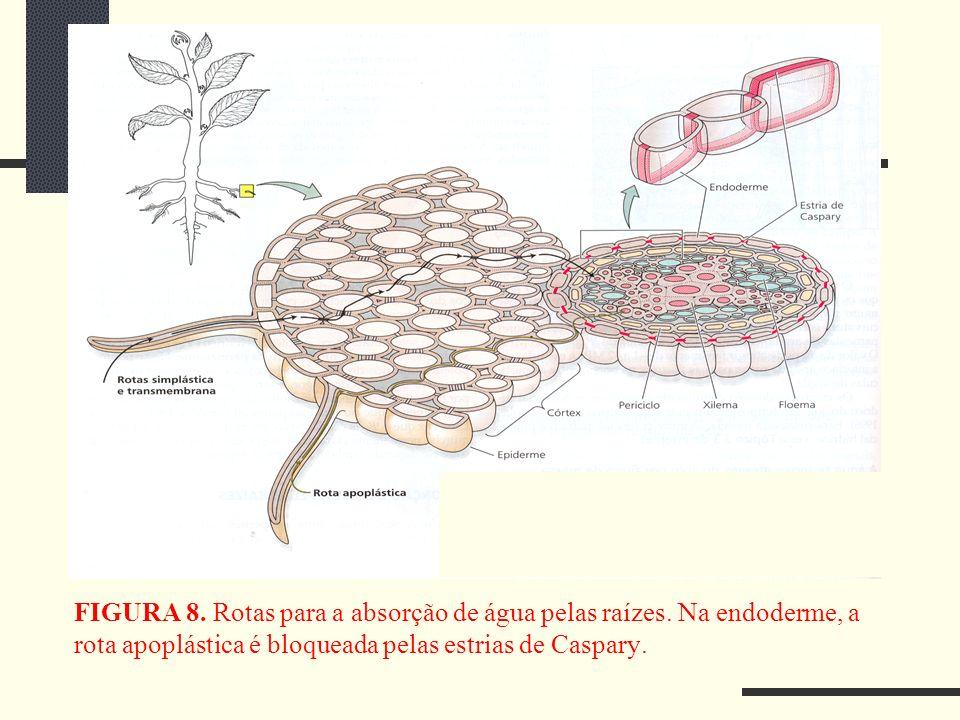 FIGURA 8. Rotas para a absorção de água pelas raízes. Na endoderme, a rota apoplástica é bloqueada pelas estrias de Caspary.